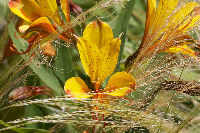J - Alstroemeria (Sweet Laura) surrounded by ponytail grass