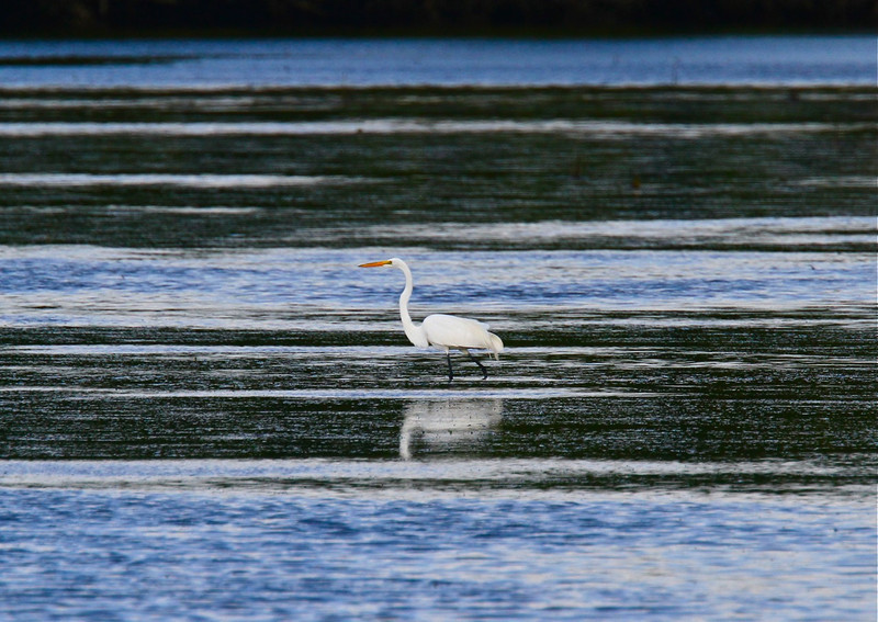 B - Great Egret; striated water, Sanibel