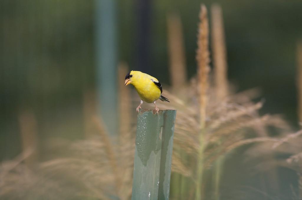 Goldfinch (1)
