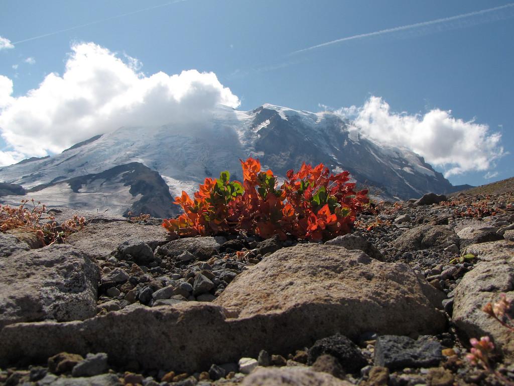 Huckleberry on Third Burroughs, Mt  Rainier
