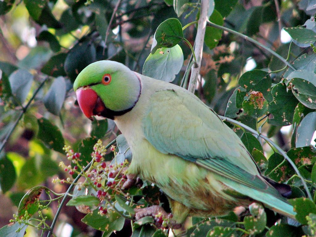 Rose-ringed Parakeet (Keoladeo Nat Park, India Dec 2006) Canon S2 72mm
