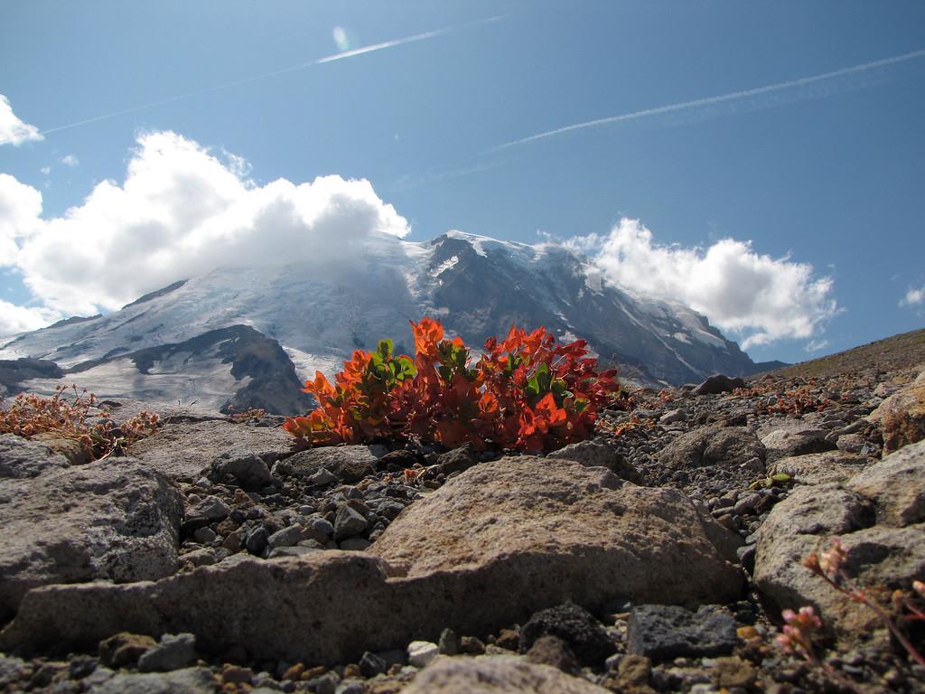 Buckwheat on Third Burroughs, Mt  Rainier