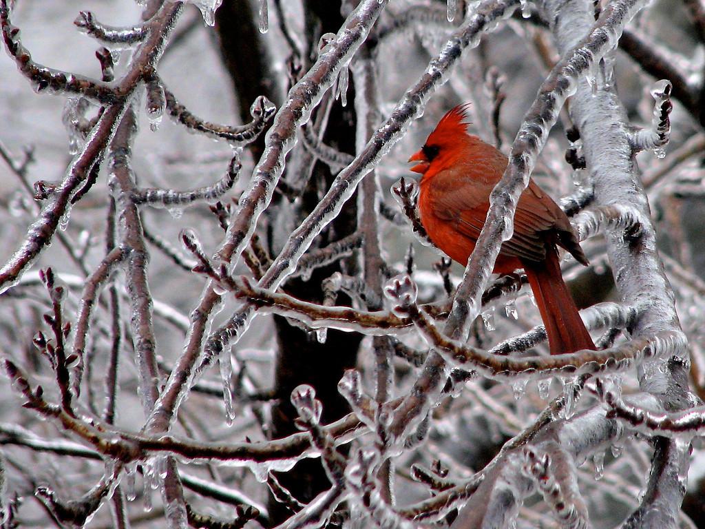 Ice Cardinal (Frederick, Feb 2008) Canon S2 72mm f/4 1/200