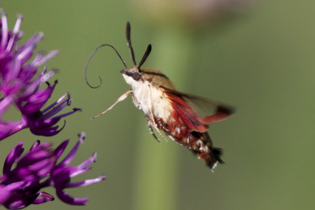 Clearwing Moth with Sunglasses