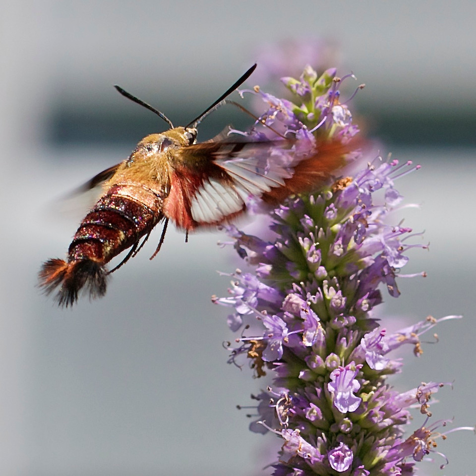 Clearwing Moth on Agastache