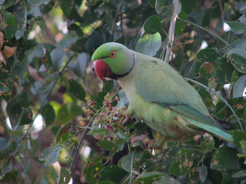 Rose-ringed Parakeet (Keoladeo Nat Park, India Dec 2006) S2 72mm - jw