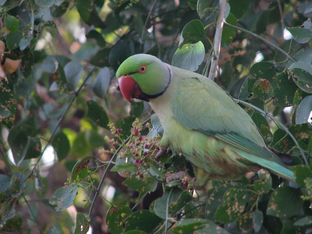 Rose-ringed Parakeet (Keoladeo Nat Park, India Dec 2006) S2 72mm - jw