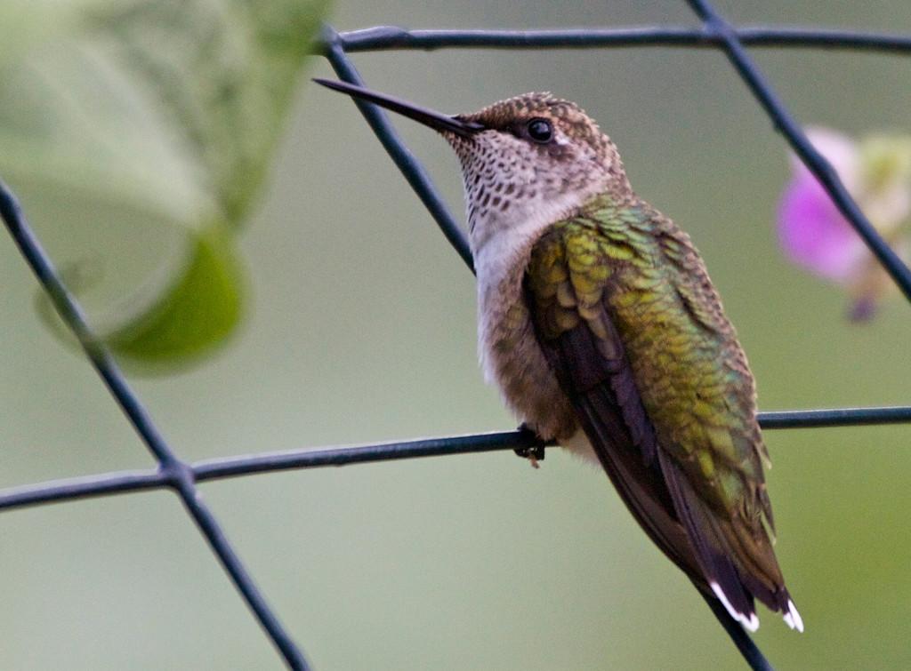 Ruby-throated Hummingbird (Frederick July 2009) Canon Rebel XSi 400mm f/5 1/250 ISO 800