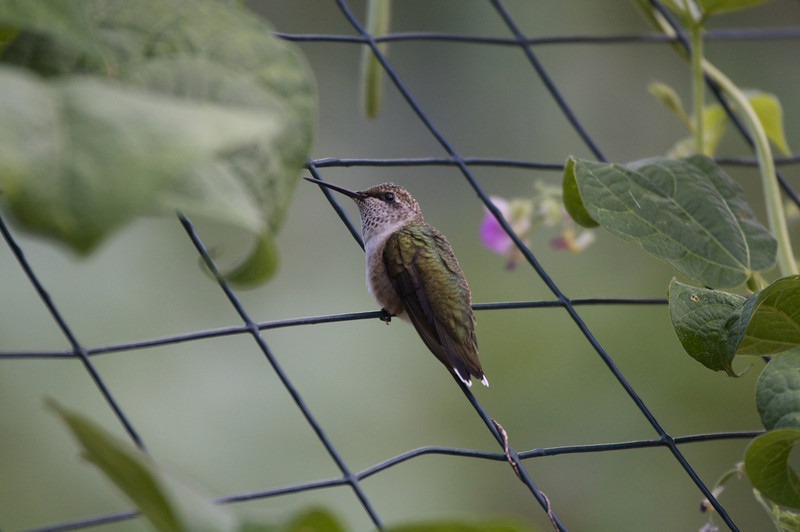 Ruby-throated Hummingbird (Frederick July 2009) 400mm - jw