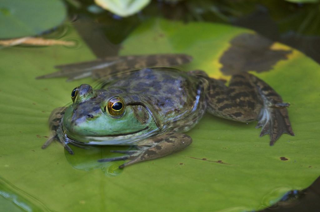Frog on a lilypad (Beverly MA Aug 2009) 400mm - jw
