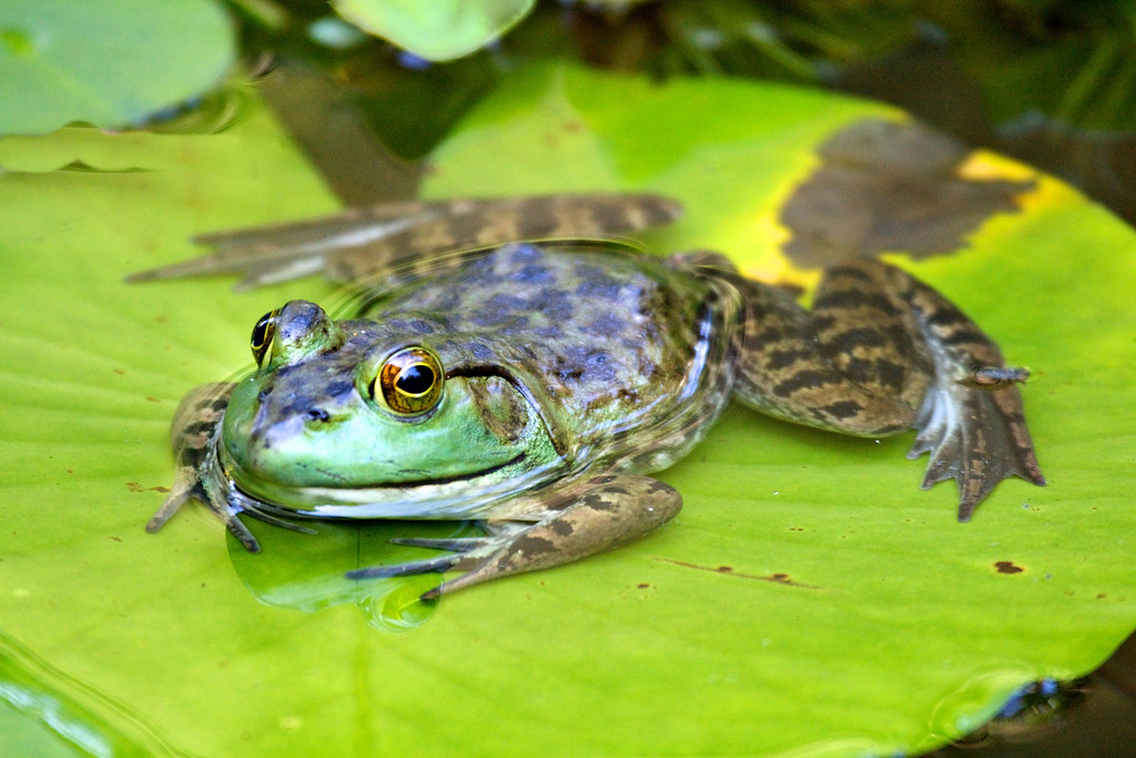 Frog on a lilypad (Beverly MA Aug 2009) 400mm