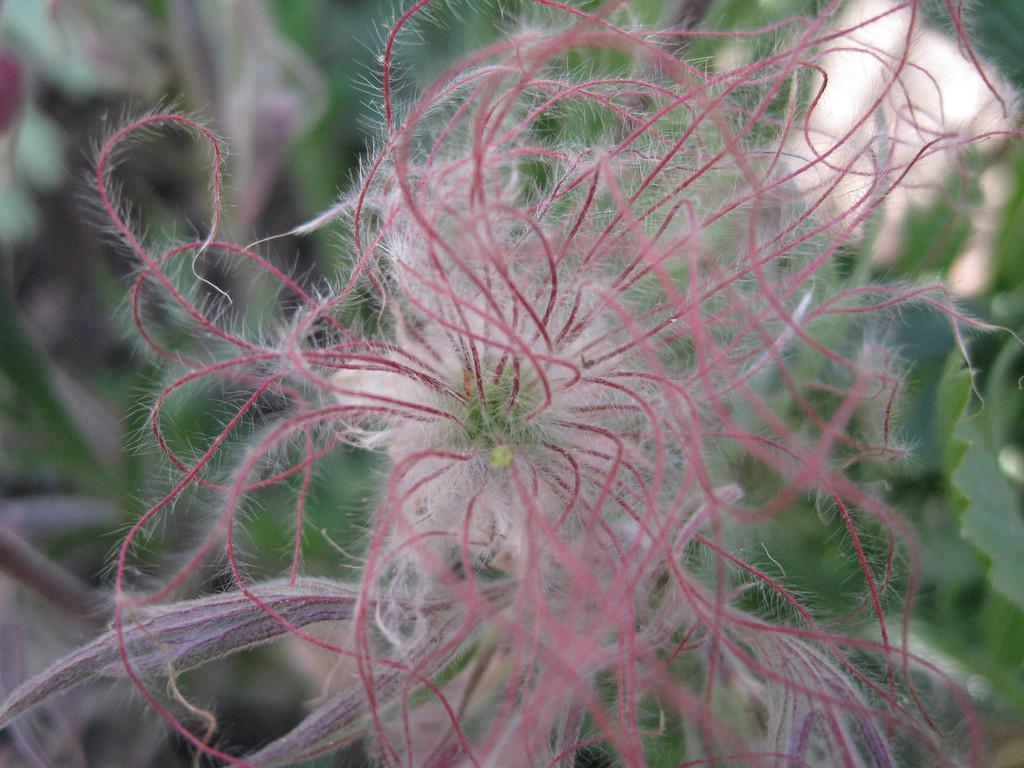 Prairie Smoke hair (Frederick May 2008) Canon SD950 7.7mm f/28 1/500 ISO 400