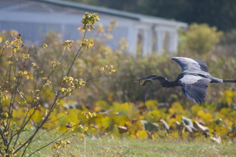 Great Blue Heron with Snake (1)