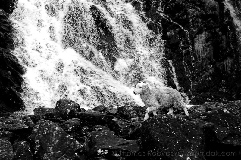 Sheep and Waterfall – 17 October 2008 – Running from a herding dog, a sheep crosses in front of a waterfall in the Lake District of England.