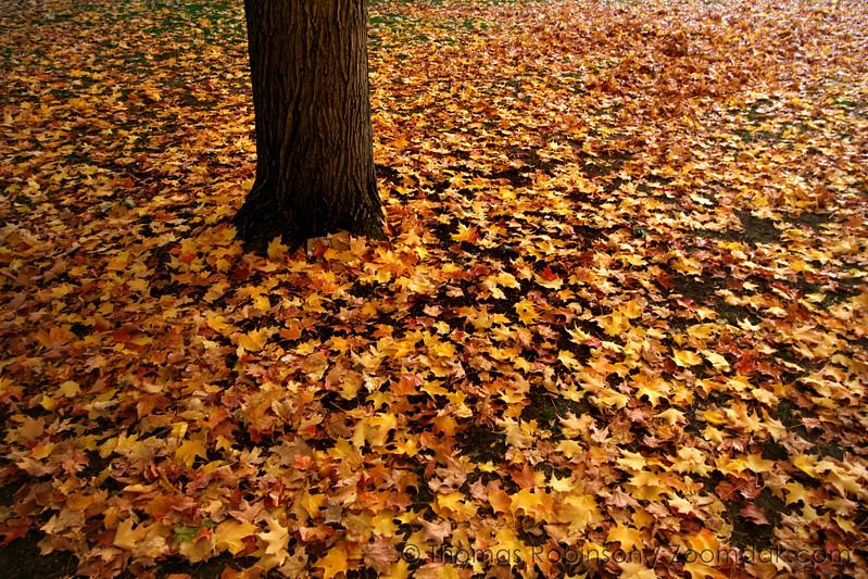 Autumnal Mac Tree – 21 October 2006 – Leaves from the Mac Tree (or tree near Mac Hall) hail the season of autumn.