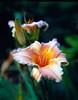Peach Lilly