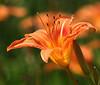 Orange Day Lilly