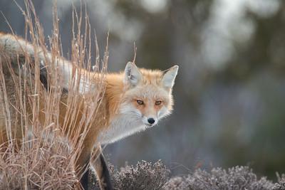 #516 Red Fox 4369