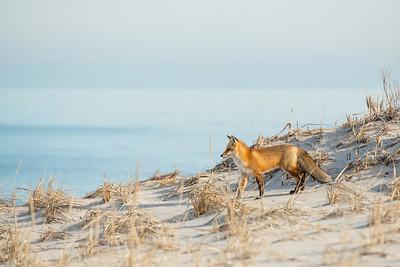 #583 Red Fox