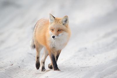 #515 Red Fox 4362