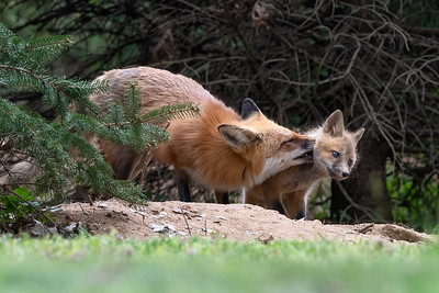 #1590 Red Fox and Kit