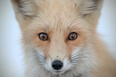 #1186 Red Fox