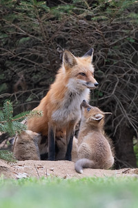 #1592 Red Fox and Kit