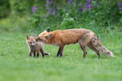 #1593 Red Fox and Kit