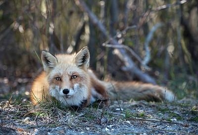 #336x Red Fox