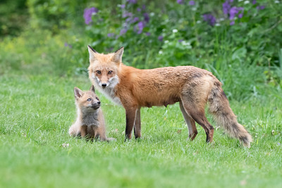 #1591 Red Fox and Kit