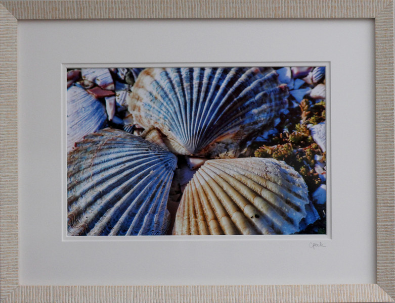 Scallop Shells photography in a 12 x 16 white frame. Photo size 8 x 12 inches.Tru Vue conservation grade glass with 99% UV protection