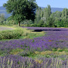 Lavender fields in Sault, the lavender capital of France.