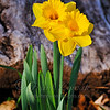 - Daffodil Twins -