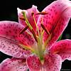 - Pink Tiger -