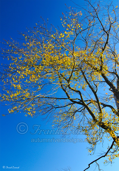 - Blue & Gold -