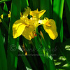 - Wild River Iris #1 -
