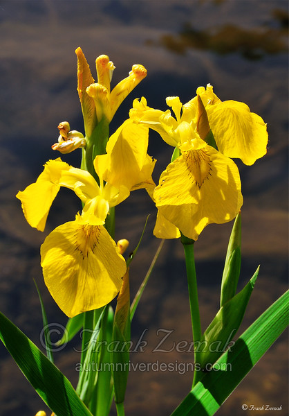 - Wild River Iris #2 -