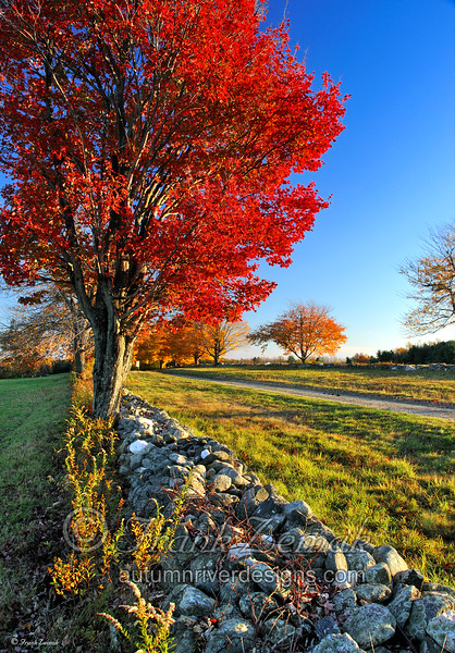 - Sunset On Red Maple -