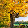 - Sugar Maple #1 -