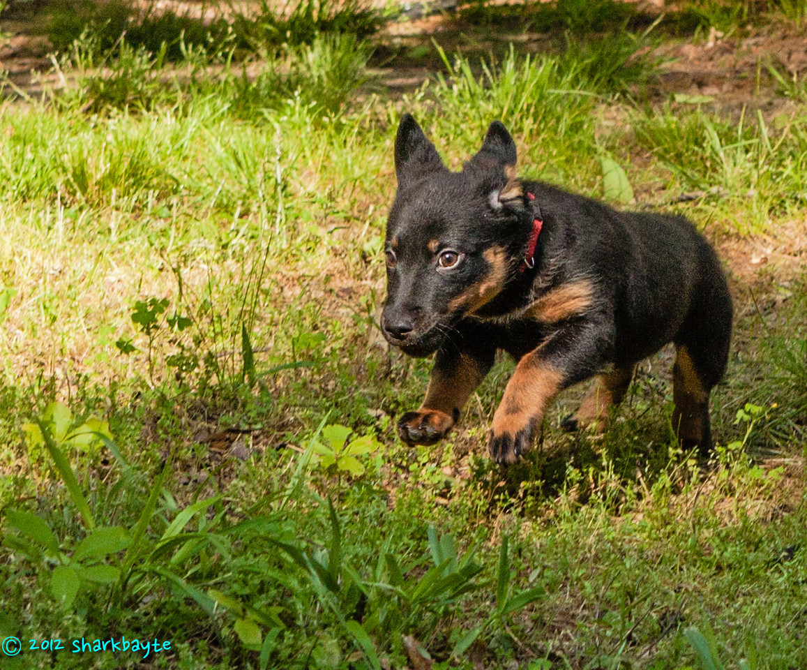 Jump!<br /> Fräulein jumping and running. She loves to run!