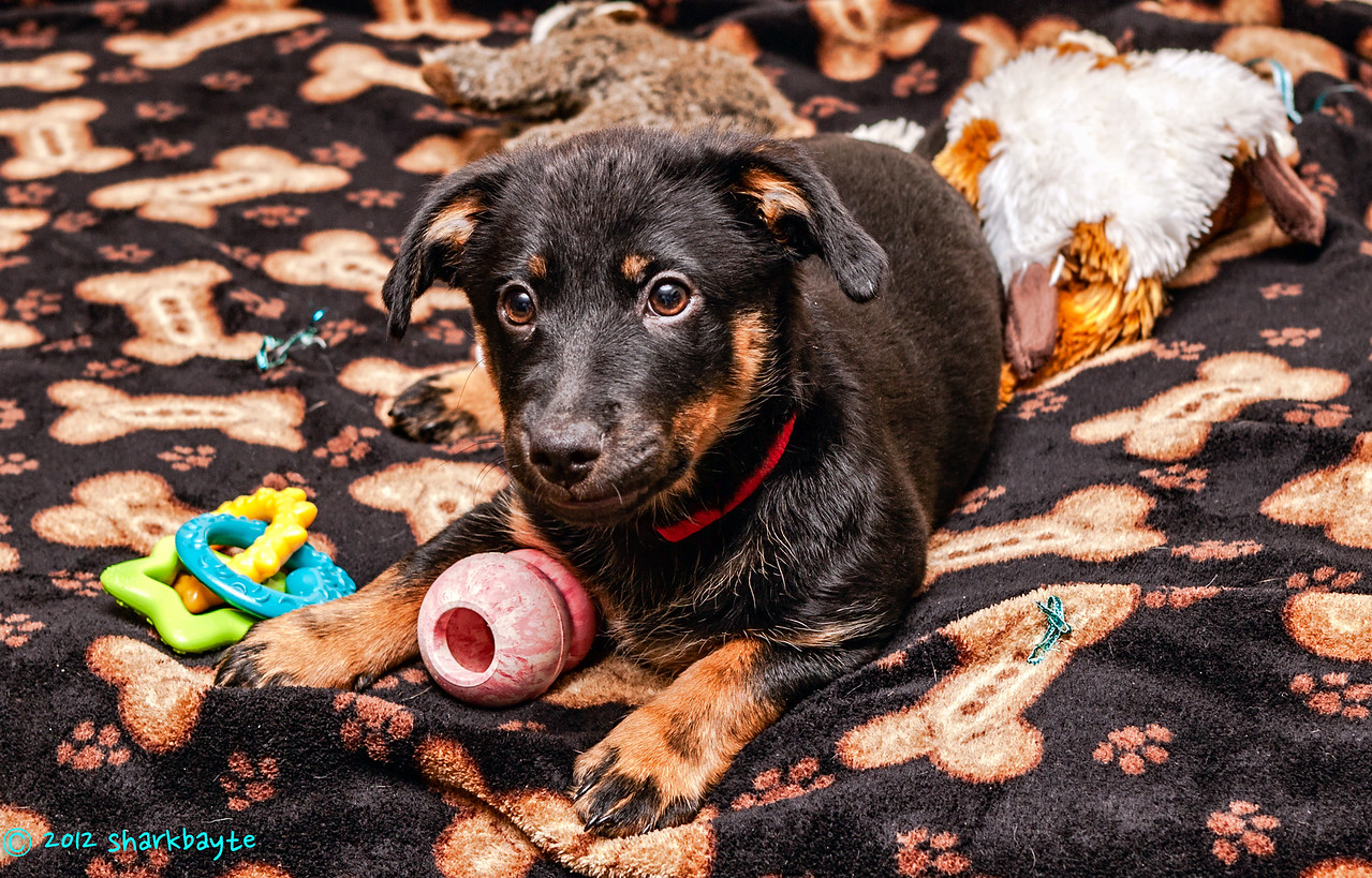 Loves her kong Fräulein, loves her kong toys. This is her new blanket, her kong toy and teething ring. Behind her is two squeaker critters that she loves.