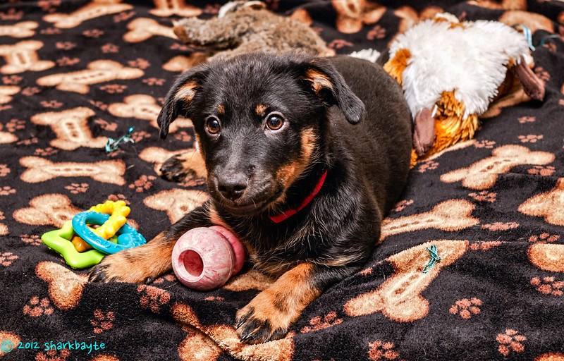 Loves her kong<br /> Fräulein, loves her kong toys. This is her new blanket, her kong toy and teething ring. Behind her is two squeaker critters that she loves.