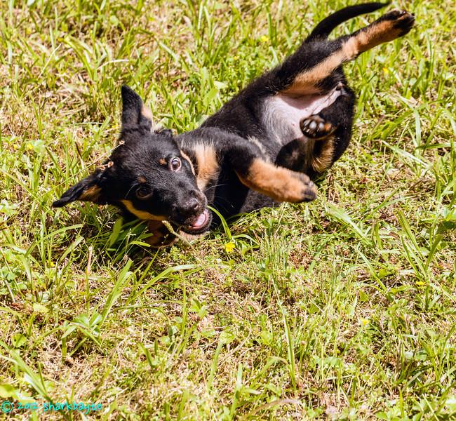 Puppy aerobics!<br /> Fräulein showing her puppy skills, we call it puppy aerobics!