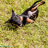 Puppy aerobics!<br /> Fräulein showing her puppy skills, we call it puppy aerobics!