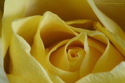 same rose shot original without logo is here: http://stan-pustylnik.smugmug.com/gallery/345185#176503917