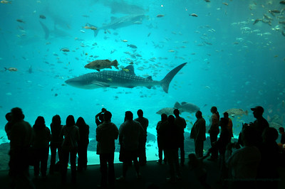 People watching Whale Shark in Georgia Aquarium. One of most amazing aquariums in world.  There are 4 whale sharks in the same tank with houndreds of other ocean species. Check other images here: http://www.stan-pustylnik.smugmug.com/gallery/2134981