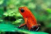 #55 Red Poison Dart Frog, Costa Rica