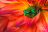 #1 Frog on Dahlia