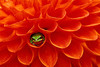 #3A Frog in Dahlia