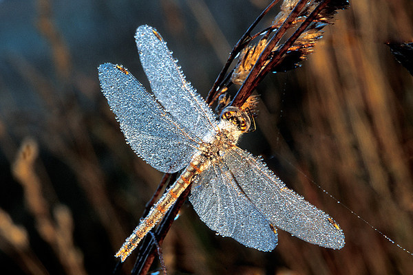 #139 Dragonfly and Dew Drops